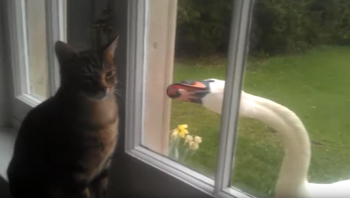 白鳥の熾烈な攻撃にも動じない猫、しつこいノックにそっぽを向いて