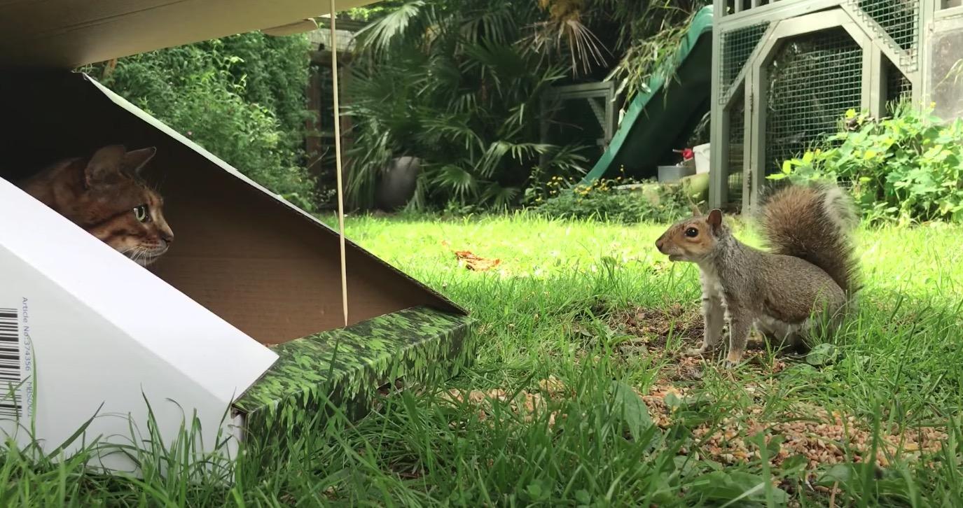罠箱に潜んでリスを狙う猫、2度の好機を物にできず