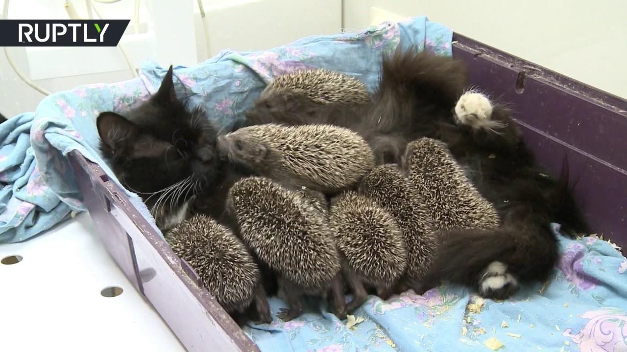 ハリネズミの赤ちゃん養う黒猫母ちゃん、毛針と毛皮のまだらのコラボに