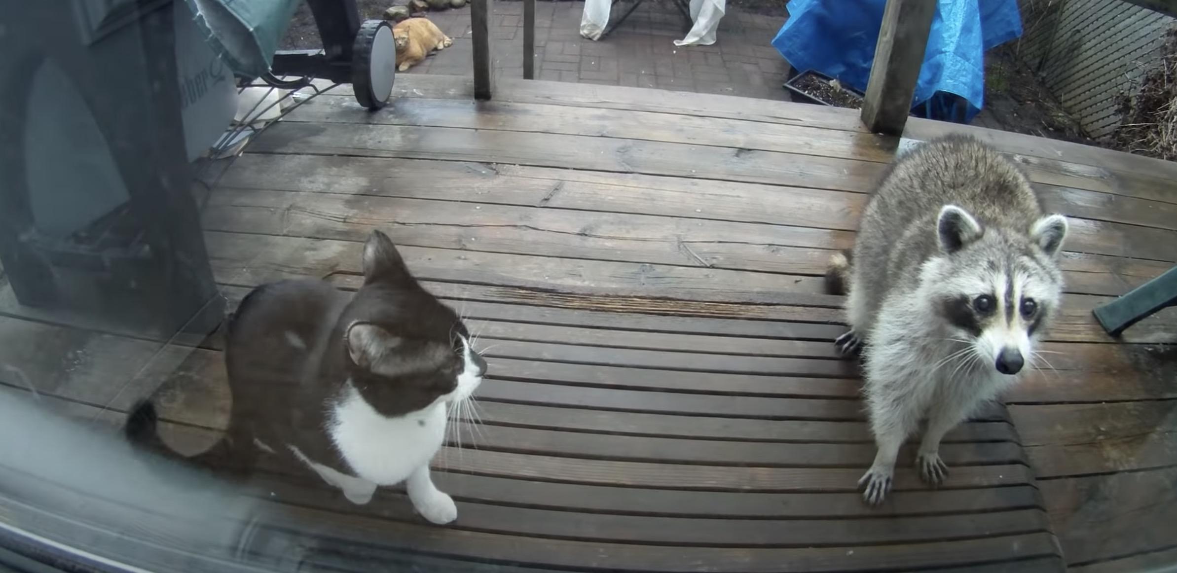 アライグマのかわいさ借りてドア開けた猫、挨拶だけして中には入れず