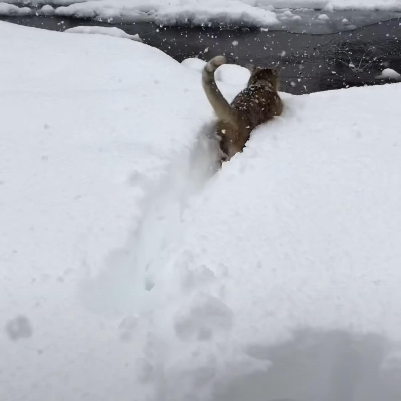 豪雪をものともせずにラッセルする猫、雪国暮らしの耐性を示す ...