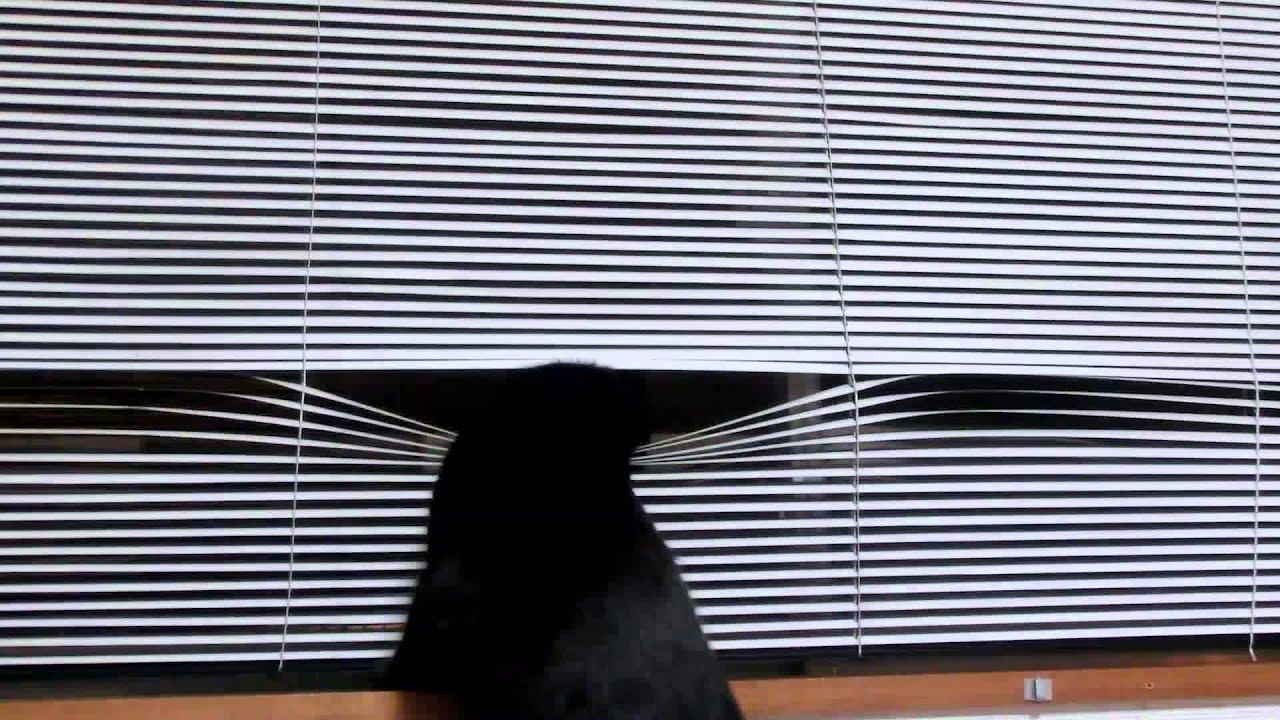 ボス式のブラインド覗きに挑戦する猫、斬新なスタイルで暗闇にとける